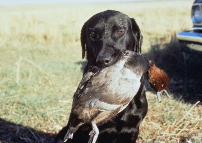 Pointer_hunting_dog_holding_a_duck_in_the_mouth_after_a_successful_hunt