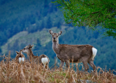 Red-Sika Deer on Camaderry