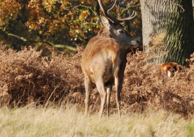 stag_red_deer_cervus_elaphus_